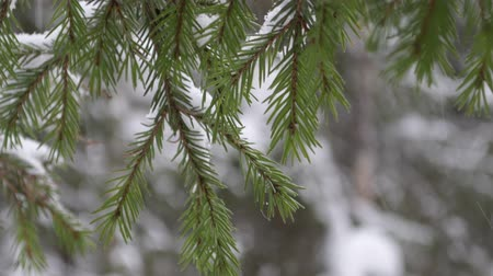 Winter fir branch tree covered with snowfall. Snowflakes falling 動画素材
