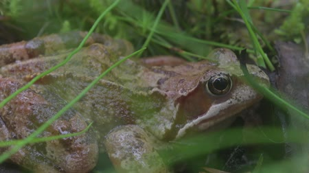 kétéltű : Frog on the ground in the grass