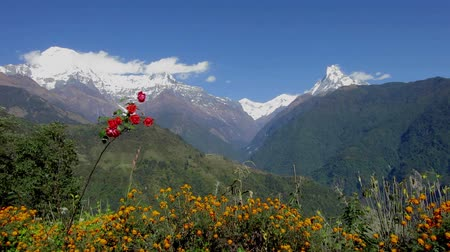 The Annapurna range as seen from Ghandruk in Nepal. Red roses in the foreground.
