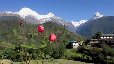Ghandruk village and the Annapurna range in Nepal. Red roses in the foreground. Stok Video