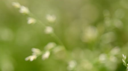 Macro shot of grass with seeds in a light breeze, shallow depth of field