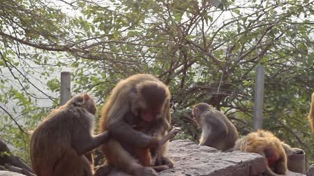 crab eating macaque : Monkey-parent looking for fleas in a child. Smooth zoom by slider
