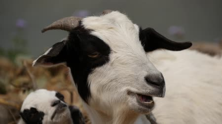 cabra : Goat looks at camera and chews grass