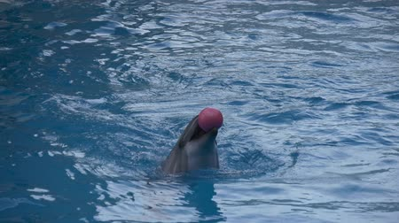yunus : Dolphin juggling pink balls Stok Video