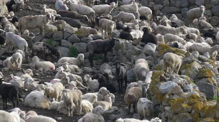felvidéki : Many sheep in herd