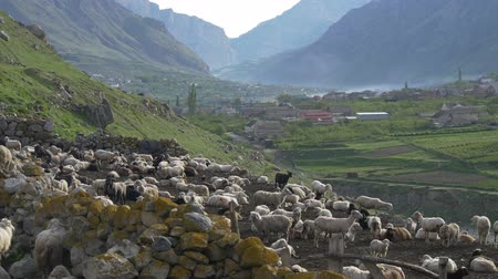 sheepfold : Big flock of sheep in mountains
