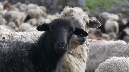 felvidéki : One black sheep between white Stock mozgókép