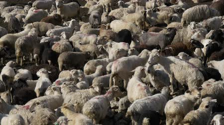 sheepfold : Many sheep in flock