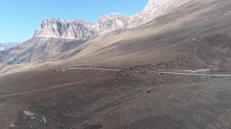 migração : Large flock of sheep in the dolomite mountains