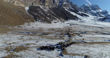 cow flies : Herd of yaks and shepherds on horseback