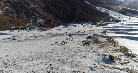 cavalo vapor : Herd of wild horses high in the mountains in winter
