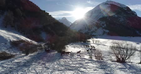 cavalo vapor : Herd of wild horses in the winter in the mountains Vídeos