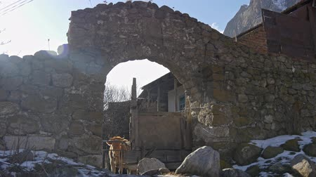 коровы : Cow on ancient ruins looks at the camera Стоковые видеозаписи