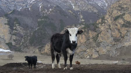 pastoral land : Black cow with a white snout in the mountains