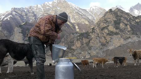 milking : Farmer pours fresh milk into the can