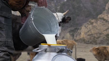 milking : Fresh milk on a cow background
