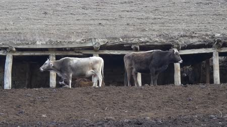 obora : Cows in the old stable in the mountains