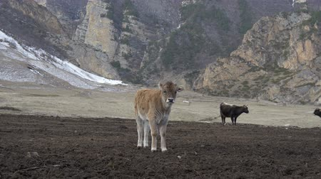 dairy cattle : Calf in the mountains