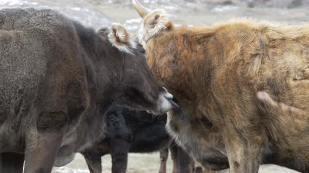 mother cow : Cow licking another cow Stock Footage