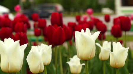tulipan : White and red tulips and traffic on background