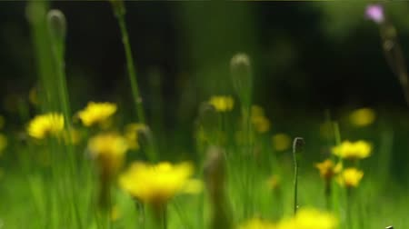 Moving through the meadow with wild yellow flowers