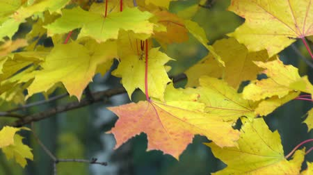 Yellow maple leaves swaying in the wind