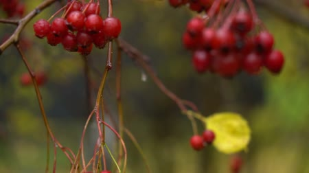 rowanberry : Wet ripe ashberry in autumn