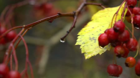 dešťové kapky : Autumn ashberry with drops of water