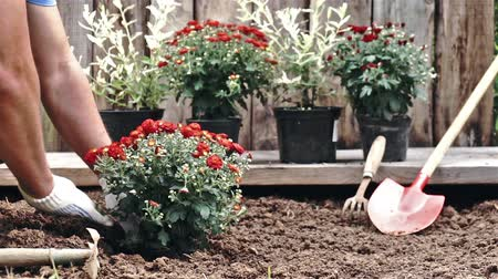 chryzantema : Male hands in protective gloves planting a bush of a red chrysanthemum into the earth. Slow motion Wideo
