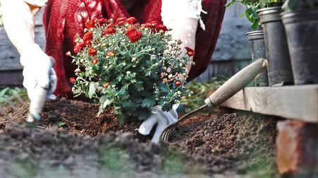 dacha : Female hands in protective gloves planting a bush of a red chrysanthemum into the earth. Slow motion