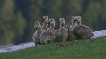 ingiliz columbia : Baby Canada Geese - goslings eating grass Stok Video