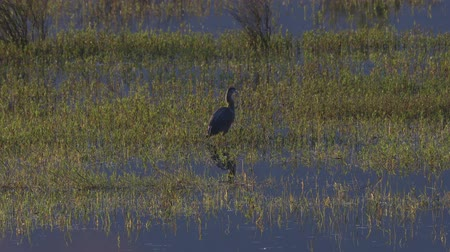 ingiliz columbia : Great blue heron (Ardea herodias) searching for food in the early morning