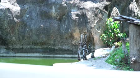 yaban kedisi : tiger walking and watching.Scary looking in the zoo Stok Video
