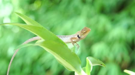 reptile : Chameleon lizard moving big eye while looking around and moving slowly on tree branch, green nature background Stock Footage