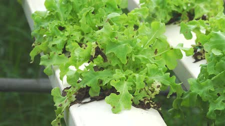 hydroponic : Wilted vegetable field, Green Lettuce growing in greenhouse Organic hydroponic vegetable farm Stock Footage