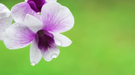 orkide : Close Up beautiful White and purple orchid flower blooming in the garden, Nature Background