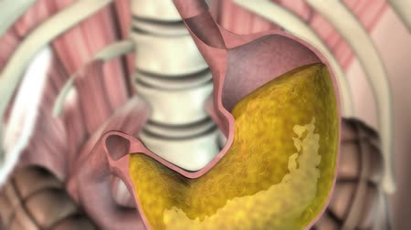 ahır : 3D video of transparent human digestive system highlighting path from ingestion
