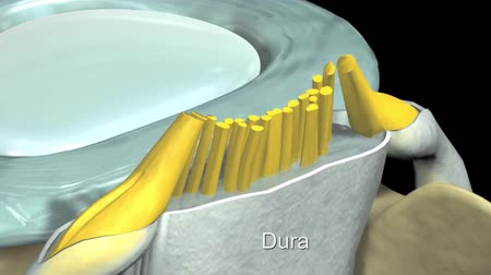 braun : Animation of Human Spine In Details: Vertebrae, Bone Marrow, Disc And Nerves