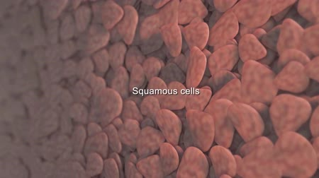 zaoblený : 3D Medical animation of squamous cells