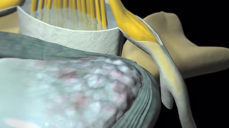 motorháztető : Spinal Cord. 3D Animation of spinal nerve - nucle