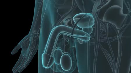 prostata : 3D animated transparent male reproductive system