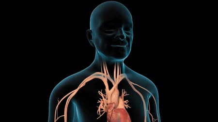 coronararterien : Cardiovascular system with beating heart Videos