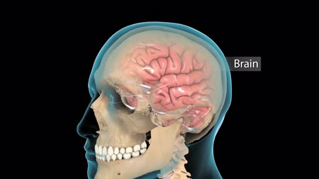 pyramidal : Conceptual animation of the human brain.