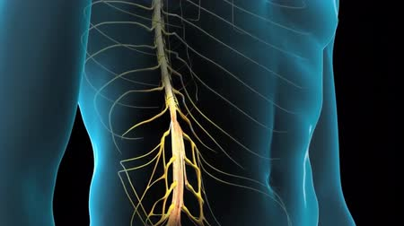 шнур : Medical animation of the human nervous system