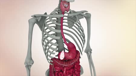 mar : Animation showing male internal organs Vídeos