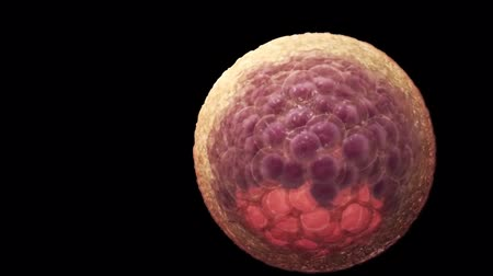 cell division : 3D animation of Blastocyst formation (human egg fertility cell division)
