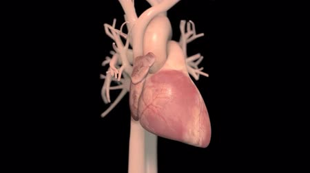 pacemaker : Human heart, realistic anatomy 3d model of human heart on the monitor, visual he