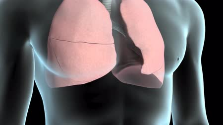 interno : 3D animatied Respiratory System, Lungs With Airflow