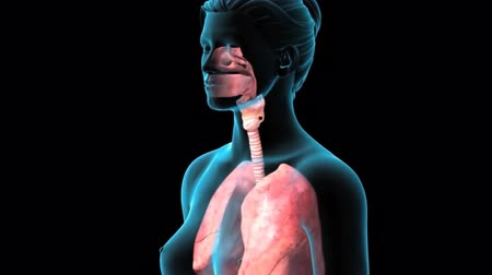 chester : 3D Animatied Female Respiratory System Stock Footage