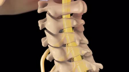 protrude : Spinal cord Stock Footage